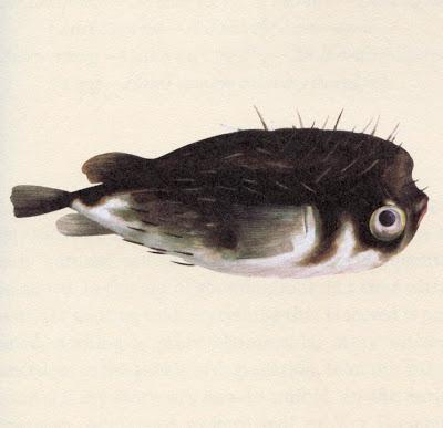 goulds_porcupinefish